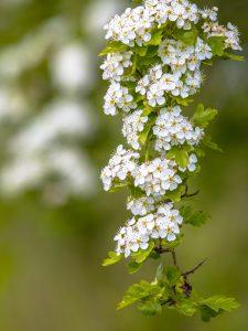Blossom of common hawthorn